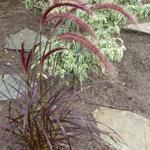Pennisetum x advena 'Rubrum' - Lampepoetsersgras - Pennisetum x advena 'Rubrum'