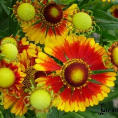 Helenium 'Rotgold' -
