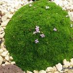 Silene acaulis subsp. exscapa - Silene acaulis subsp. exscapa - Alpenlijmkruid, Blaaskruid, Stengelloze silene