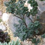 Salix 'Boydii' - Salix 'Boydii' - Wilg, dwergwilg
