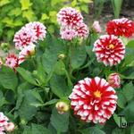 Dahlia 'Little Tiger' - Dahlia