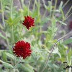 Knautia macedonica 'Red Knight' - Beemdkroon, Weduwebloem