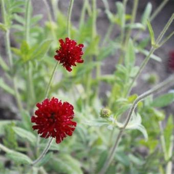 Knautia macedonica 'Red Knight'