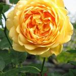 Rosa 'Golden Celebration' - Roos, klimroos
