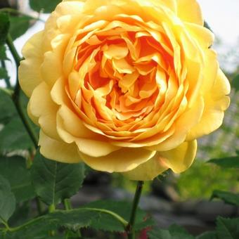 Rosa 'Golden Celebration'