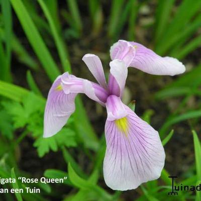 Iris laevigata 'Rose Queen ' - Japanse iris - Iris laevigata 'Rose Queen '