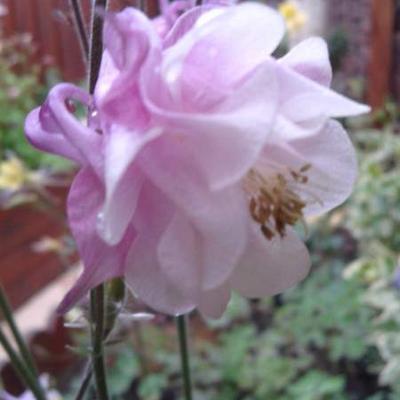 Aquilegia vulgaris 'Pink Bonnets' -