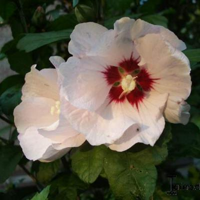 Hibiscus syriacus 'Red heart' - Altheastruik