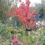 Cornus officinalis ´Robins Pride´ - Cornus officinalis ´Robins Pride´ - Japanse kornoelje, Gele kornoelje