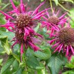Monarda 'Donnerwolke' - Bergamotplant - Monarda 'Donnerwolke'