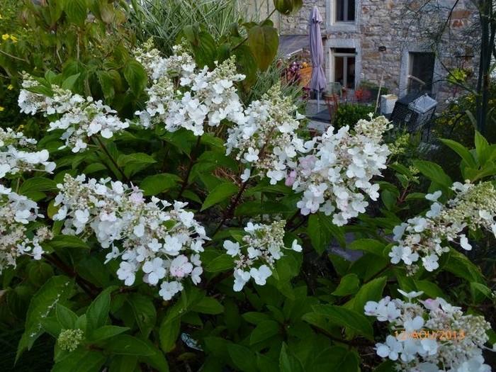 pluimhortensia hydrangea paniculata 39 pinky winky 39. Black Bedroom Furniture Sets. Home Design Ideas