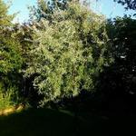 Pyrus salicifolia 'Pendula' - Treurpeer - Pyrus salicifolia 'Pendula'