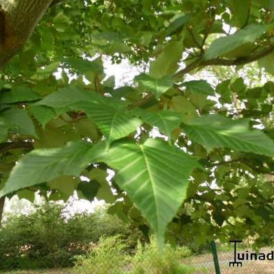 Acer capilipes -