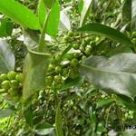 Ilex aquifolium 'Amber' - Ilex aquifolium 'Amber' - Hulst