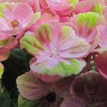 Hydrangea macrophylla 'MAGICAL Coral Pink' - Hortensia