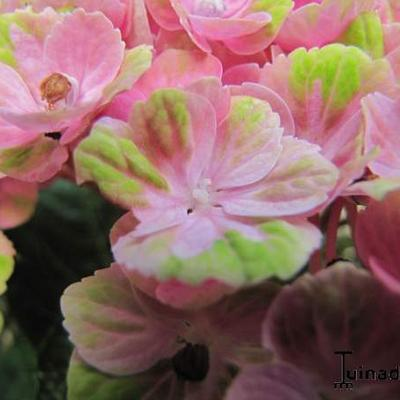 Hydrangea macrophylla 'MAGICAL Coral Pink' -