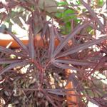 Acer palmatum 'Enkan' - Acer palmatum 'Enkan' - Japanse esdoorn