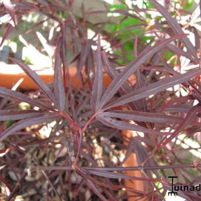 Acer palmatum 'Enkan' -