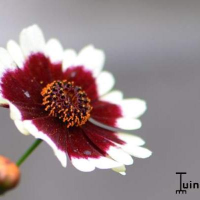 Coreopsis COLOROPSIS 'Jive' -