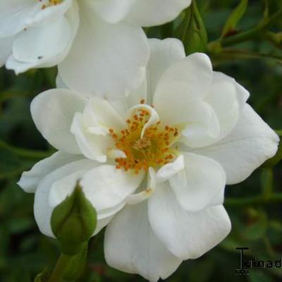 Rosa 'Kent'  -