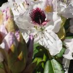 Rhododendron 'Sappho' - Rododendron