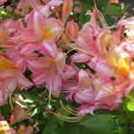 Rhododendron  'Bouquet de Flore' - Rhododendron  'Bouquet de Flore' - Rododendron, Azalea