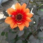 Dahlia 'HAPPY Single Date' - Dahlia