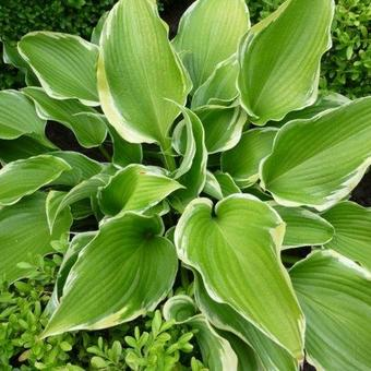 Hosta 'Memories of Dorothy'