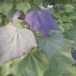 Catalpa x erubescens 'Purpurea' - Purperen trompetboom - Catalpa x erubescens 'Purpurea'