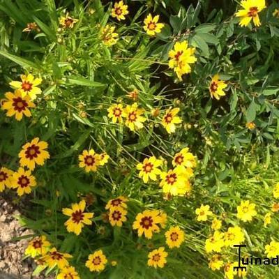 Coreopsis lanceolata 'Baby Gold' - Meisjesogen  - Coreopsis lanceolata 'Baby Gold'