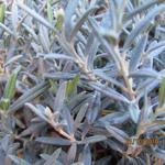 Andromeda polifolia 'Blue Lagoon' - Andromeda polifolia 'Blue Lagoon' - Rotsheide, Lavendelheide