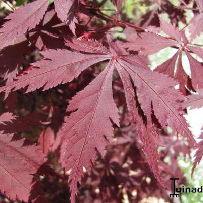 Acer palmatum 'Burgundy Lace' -