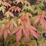 Acer palmatum 'Wilson's Pink Dwarf' - Acer palmatum 'Wilson's Pink Dwarf' - Japanse esdoorn