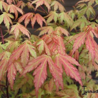 Acer palmatum 'Wilson's Pink Dwarf' -