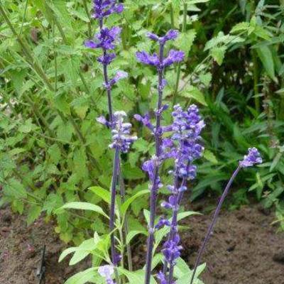 Salvia farinacea 'Victoria' -
