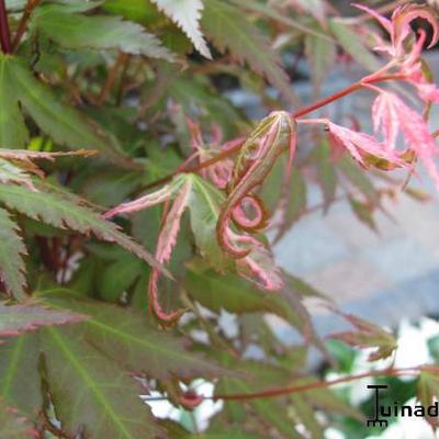 Acer palmatum 'Kasen-nishiki' -