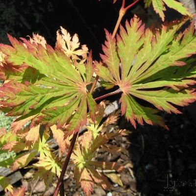 Acer japonicum 'Aconitifolium' -