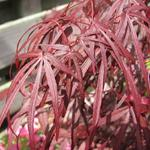 Acer palmatum 'Atrolineare' - Acer palmatum 'Atrolineare' - Japanse esdoorn