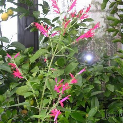Salvia elegans -
