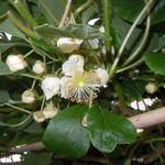 Actinidia deliciosa 'Atlas' - Kiwi - Actinidia deliciosa 'Atlas'