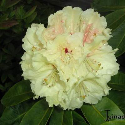 Rhododendron 'Goldfort' -