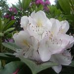 Rhododendron  'Gomer Waterer' - Rododendron