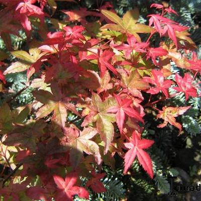 Acer palmatum 'Corallinum' -