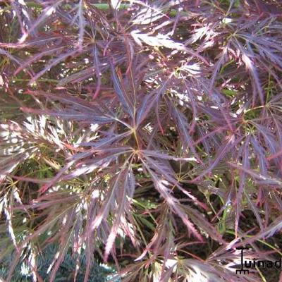 Acer palmatum 'Garnet' -