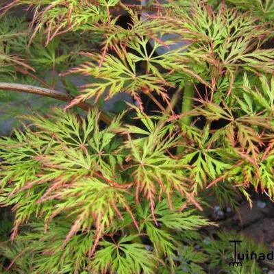Acer palmatum 'Emerald Lace' -