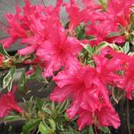 Rhododendron 'Silver Sword' - Japanse azalea, Rododendron