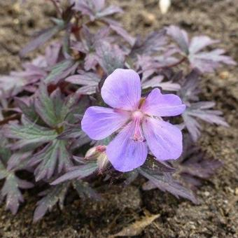 Geranium pratense 'Black Beauty'