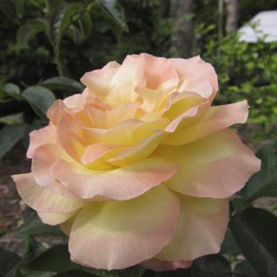 Rosa 'Madame A. Meilland'  - Roos