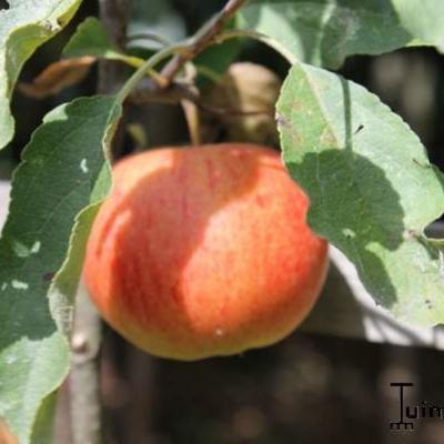 Appel - Malus domestica 'Elstar'