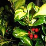 Ilex aquifolium 'Gold Flash' - Ilex aquifolium 'Gold Flash' - Bontbladige hulst